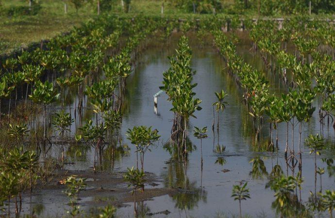 Pertamina RU VI Tanam 5000 Mangrove di Indramayu
