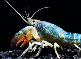 KKP Hentikan Sementara SPWP Ekspor Benih Bening Lobster