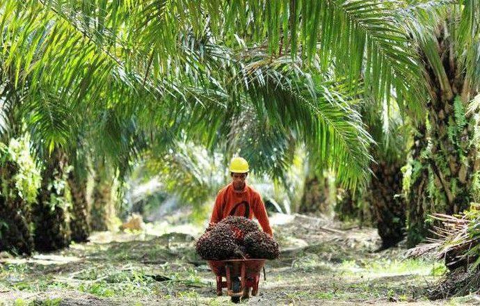 Pemerintah Alokasikan Rp5,56 T Untuk Remajakan Pohon Sawit